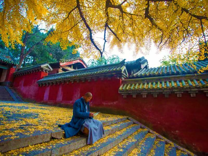 Monk Reading under Gingko Tree